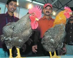 career-poultry